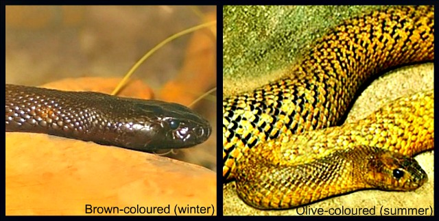 Inland Taipan Facts Pictures amp Information Most Venomous
