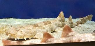 wobbegong sharks facts