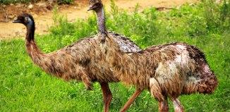 Emu_Bird