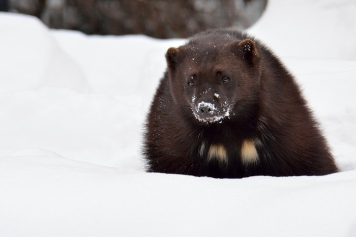 11 Interesting Facts About Wolverines Fun Facts You Need
