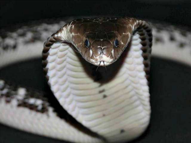 Tooth Cute Wallpaper Spitting Cobra Facts Quiz Always Learning