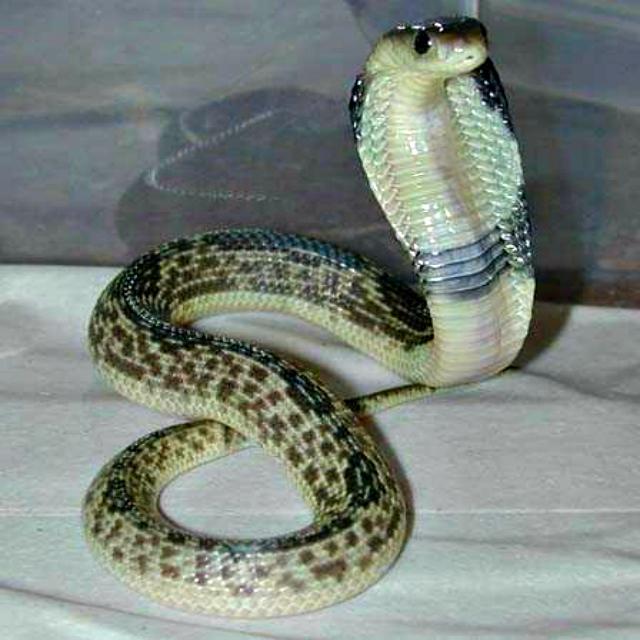 Two black mamba spitting venom - 1 part 2