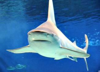 Bull_shark