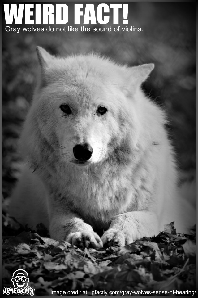 Jamaica Wallpaper Quotes Gray Wolves Do Not Like The Sound Of Violins Always