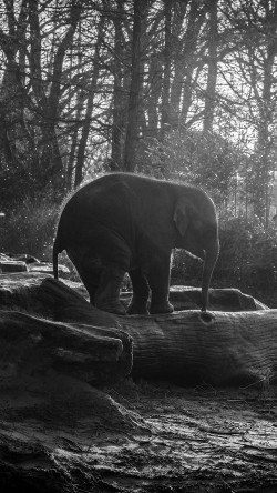 Cute Baby Pc Wallpaper Papers Co Mw67 Elephant Dark Bw Animal Cute Nature Baby 33