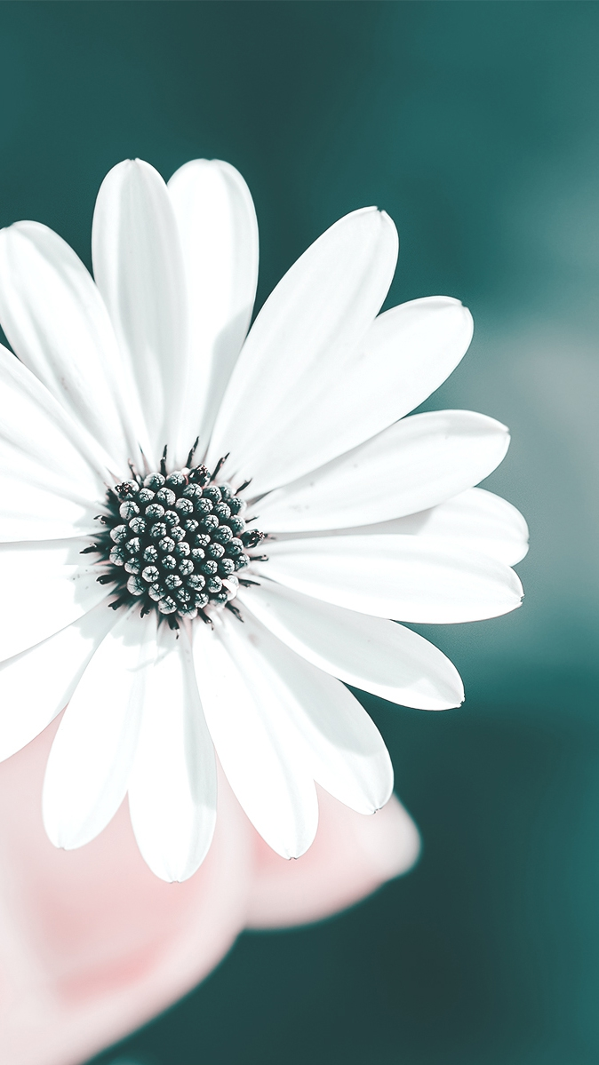Iphone Wallpapers Com White Flower In Hands Iphone Wallpaper Iphoneswallpapers