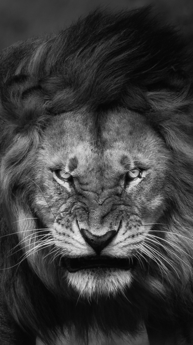 Angry Lion Face Wallpaper Wallpapers Master