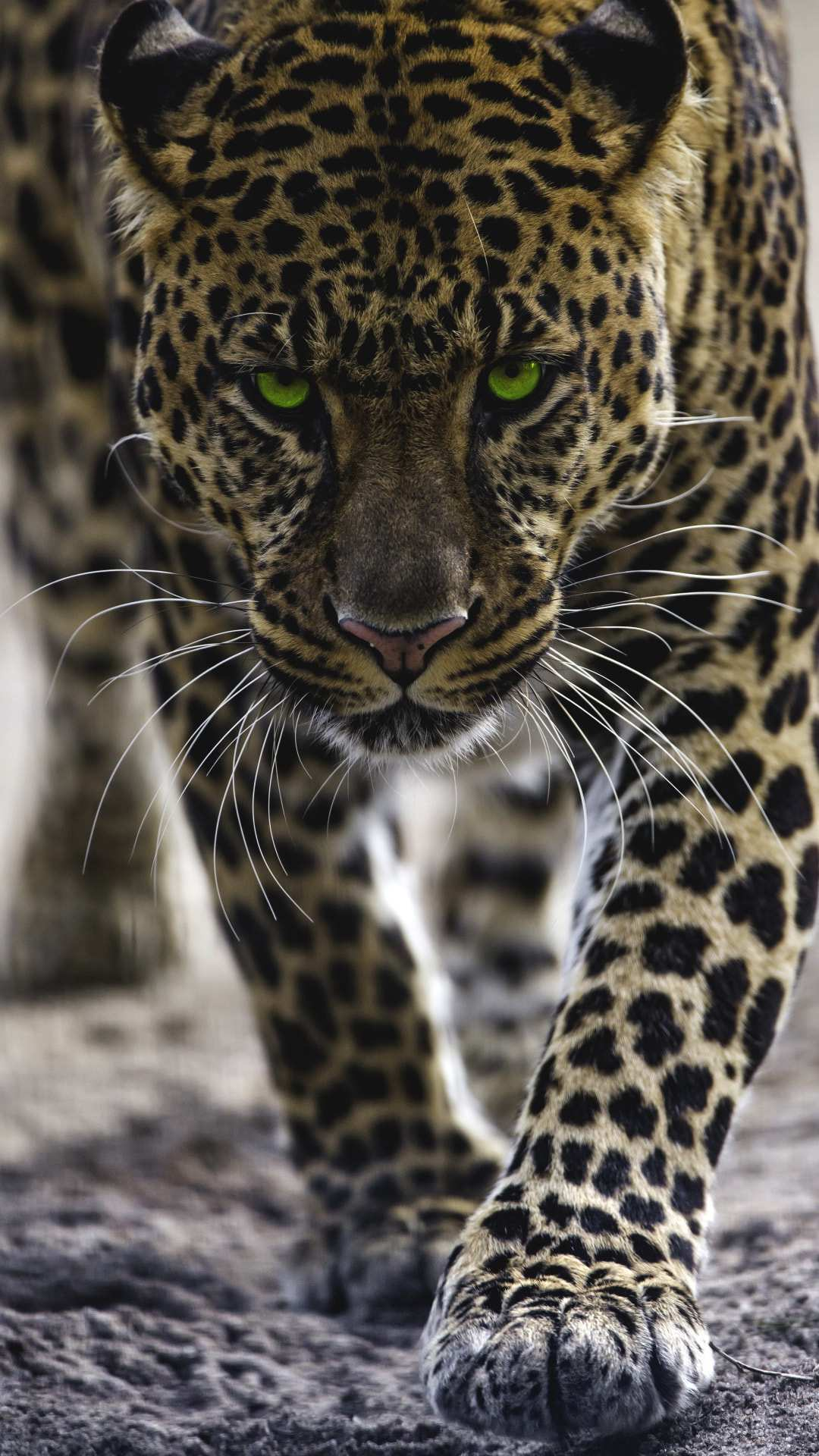 Cute Phone Wallpaper Download Jaguar Iphone Wallpaper Iphone Wallpapers
