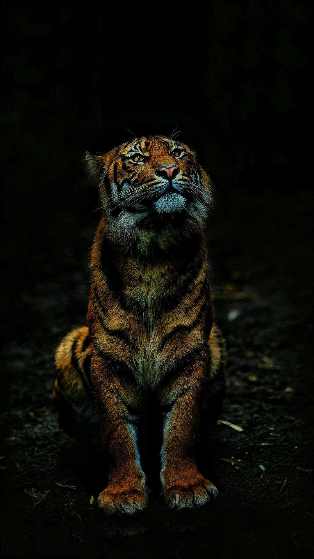 Cute Cat Wallpaper Download Tiger In Dark Iphone Wallpaper Iphone Wallpapers