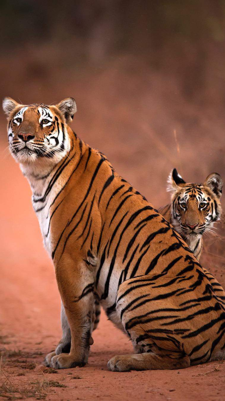 Cute Mother And Baby Wallpapers Tiger And Cub Iphone Wallpaper Iphone Wallpapers