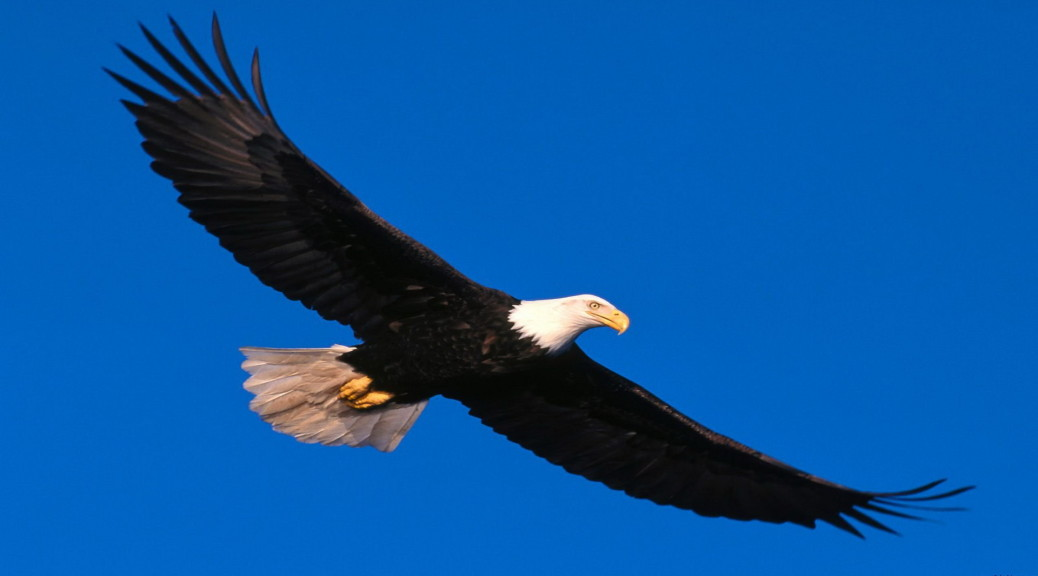 Cute Animal Wallpapers High Resolution Beautiful Eagle Flying In The Sky Animal Wildlife Image