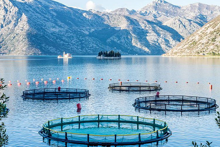 Insects As Feed EU Legislation – Aquaculture, Poultry & Pig
