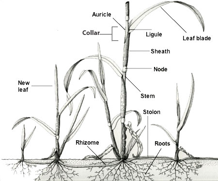 Is a patch of grass one singular organism? Or is multiple