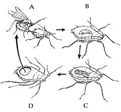 Pesticides and Water Quality: Parasitic Wasps—UC IPM
