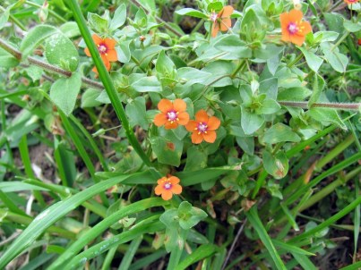 anagallis-arvensis-wildflowers-of-texas
