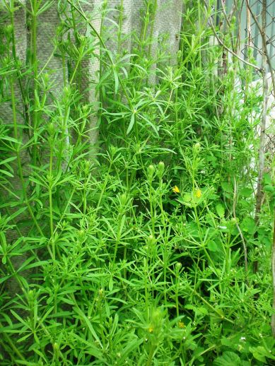 catchweed-bedstraw-3