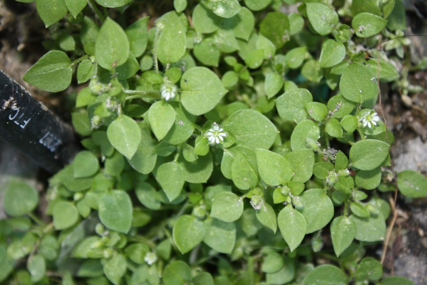 chickweed-common-3