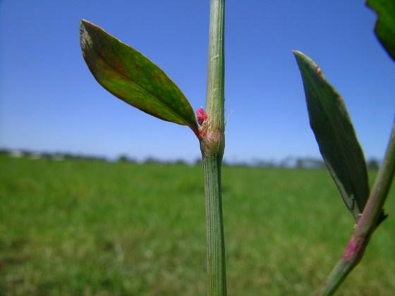 common-knotweed-3