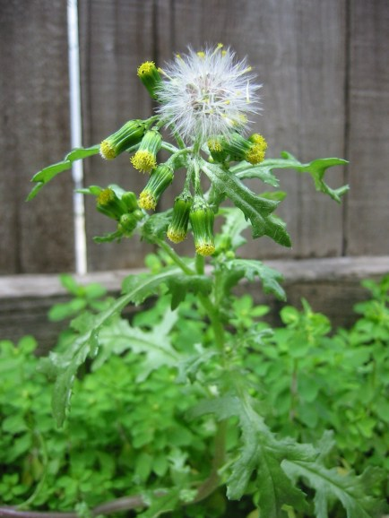 common_groundsel-first_fruits