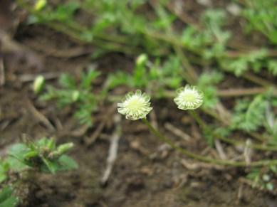 cotula_australis_flowerhead4_15162239792