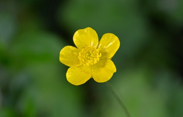 creeping_buttercup_during_the_spring