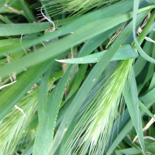 hare-barley