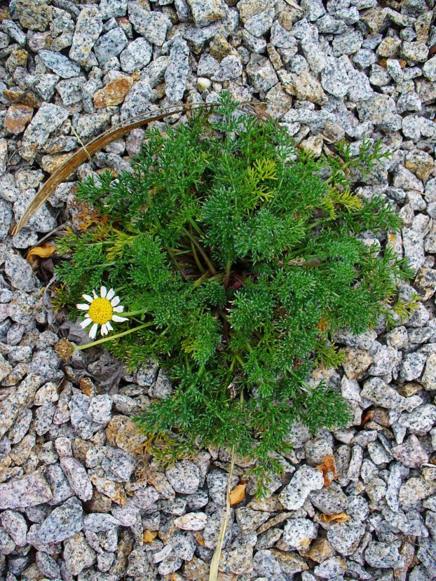 mayweed-chamomile-2