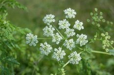 poison-hemlock-flower