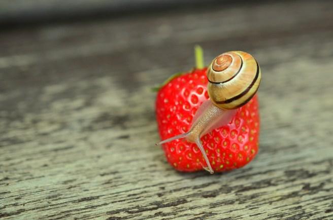 brown-snail