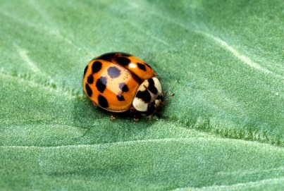 lady-beetle-3