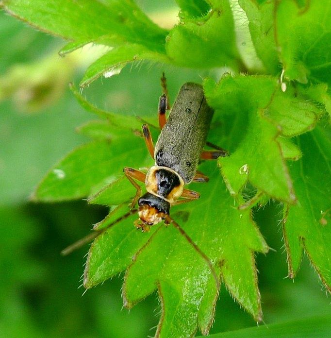 soldier-beetle3