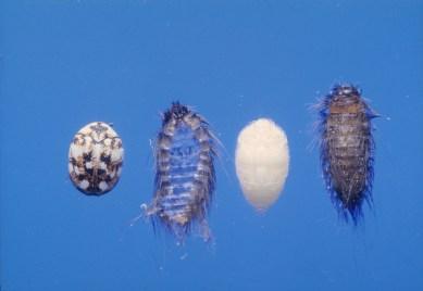 carpet-beetle-life-cycle