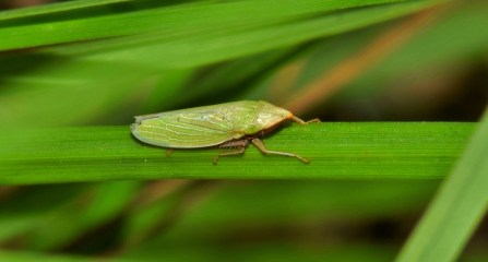 Insect Tiny Green Insect Leaf Hopper Small Insect