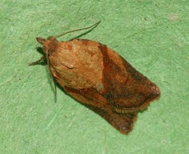 Light_Brown_Apple_Moth_-_Epiphyas_postvittana