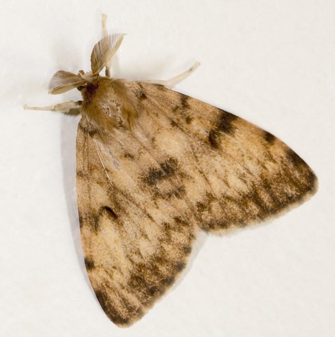 Lymantria dispar MHNT Fronton Male