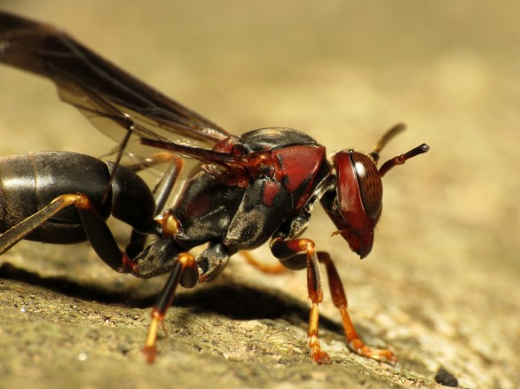 paper wasp 2