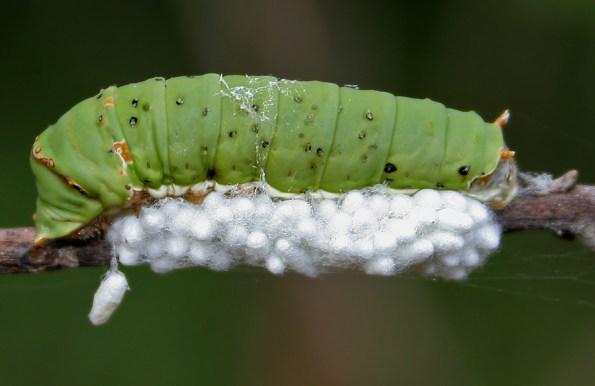parasitc wasp 2