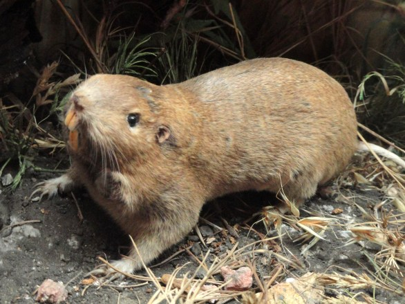 Pocket_gopher_-_Pacific_Grove_Museum_of_Natural_History_-_DSC06653