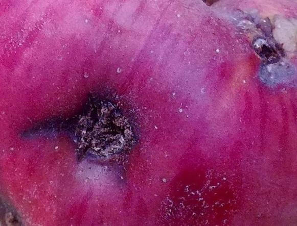 Shot-hole_disease_on_an_apple_fruit