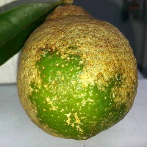 Damage on Citrus