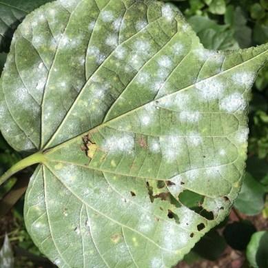 Whitefly Damage