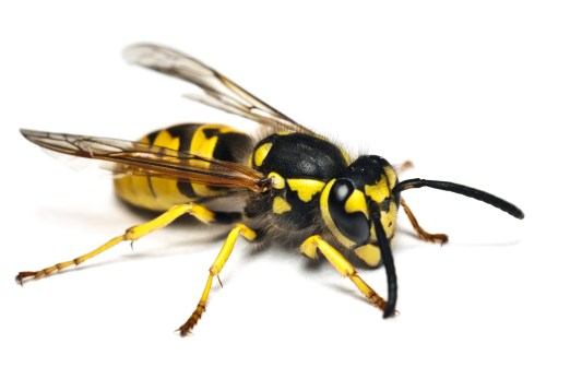 Live wasp