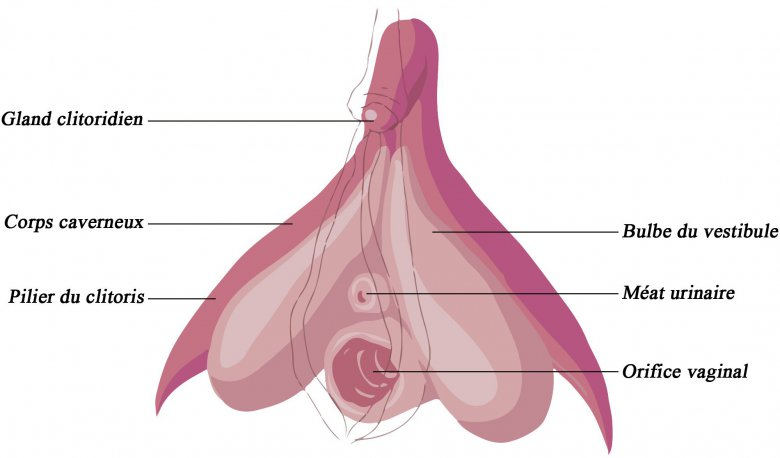 Clitoris en 3D