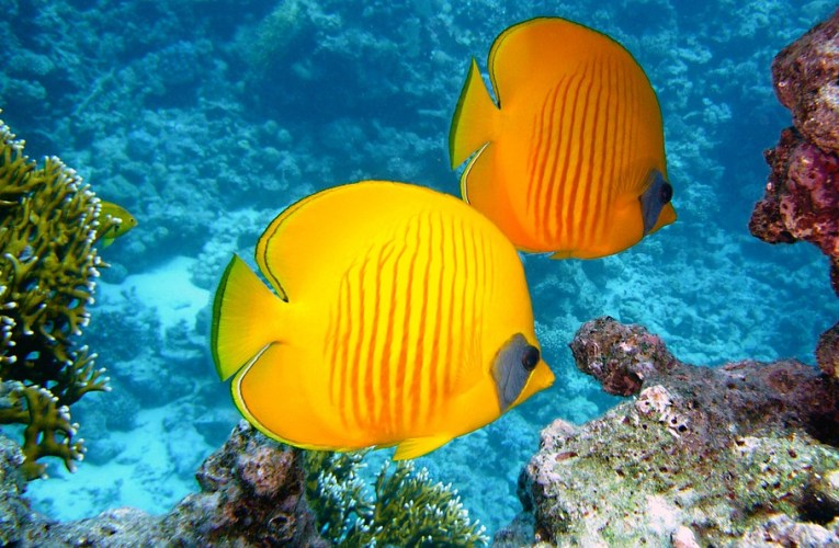 Kenali Lebih Jauh Tentang Jenis Ikan Baronang