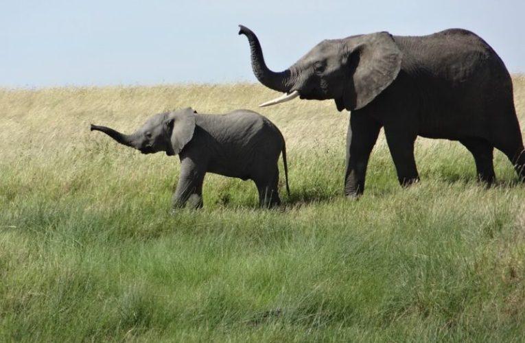 Apakah Rumput Gajah Hanya Untuk Gajah?