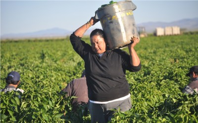 A female farmworker carrying a bucket filled with green chile