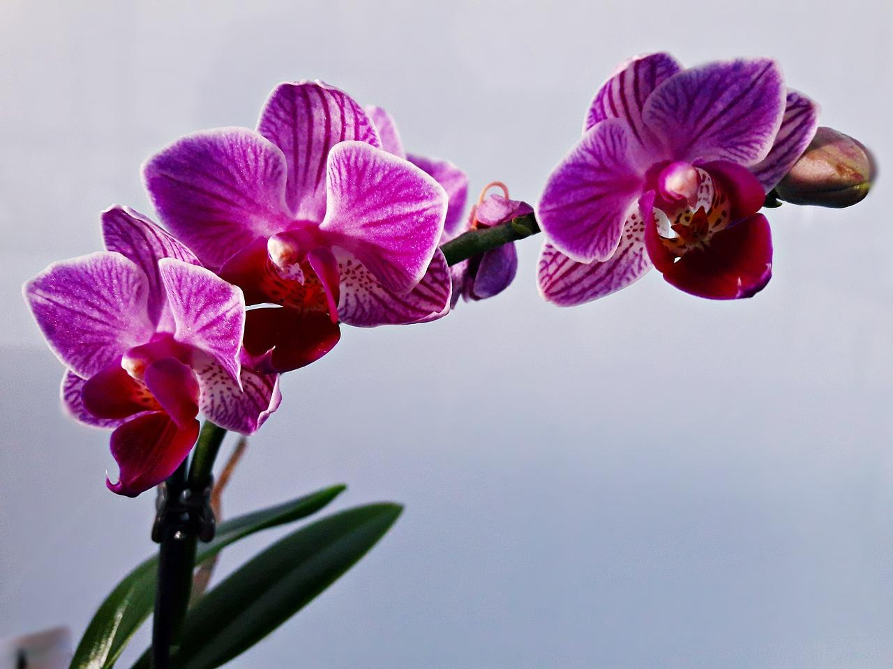 Come potare le orchidee per farle rifiorire
