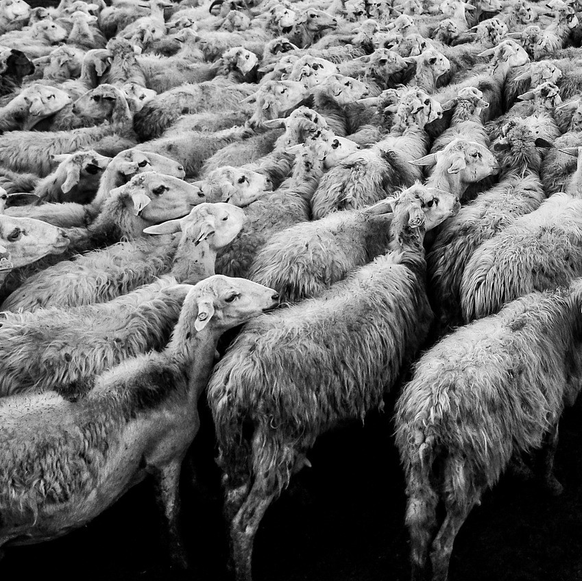 Noisy sheep