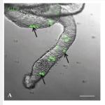 GFP+-germ-cells