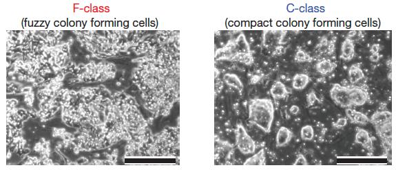 F-class stem cells